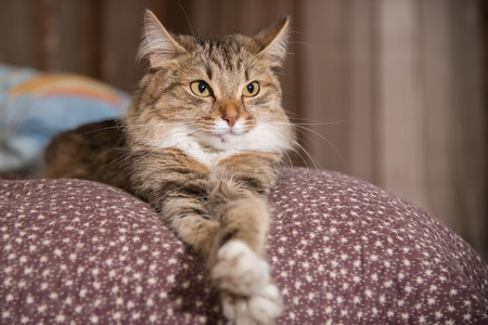 Cat, resting cat on a sofa in colorful blur background Standard-Bild