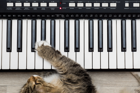 middle joint: Siberian Forest Cat playing MIDI controller keyboard synthesizer.