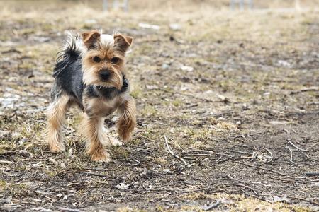 lapdog: Yong Yorkshire Terrier Dog outside on walk.