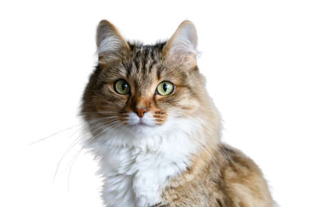 Front view of a Siberian Forest cat sitting, looking at the camera, isolated on white Standard-Bild