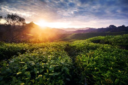 Amazing landscape view of tea plantation in sunset/sunrise time. Nature background with morning light Archivio Fotografico