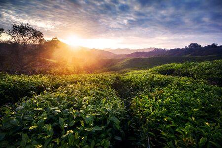 Amazing landscape view of tea plantation in sunset/sunrise time. Nature background with morning light Standard-Bild
