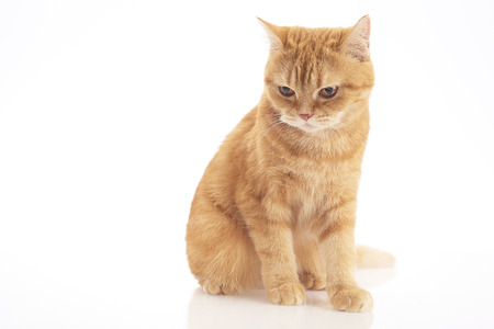 orange domestic cat isolated on white background