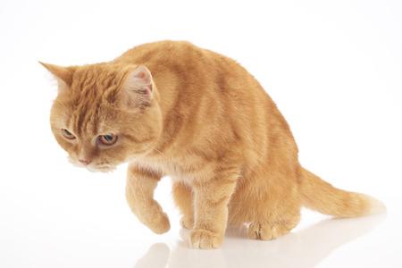 tubby: orange domestic cat isolated on white background