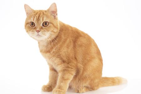 orange domestic cat isolated on white background