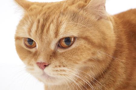 carroty: orange domestic cat isolated on white background