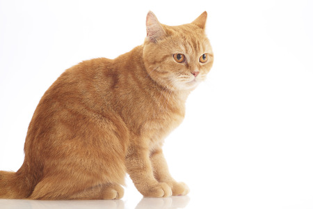 carroty: orange domestic cat isolated on white background