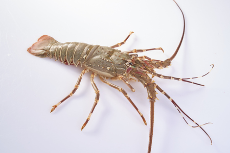lobster isolated: lobster isolated on a white studio background