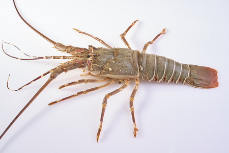 crustacea: lobster isolated on a white studio background