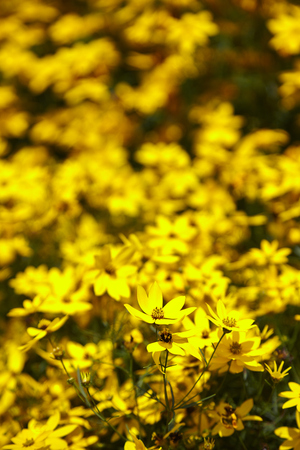 Soft-focus close-up of yellow flowers - In Park