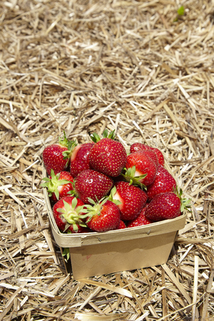 strawberries in natural background - USA Stock Photo