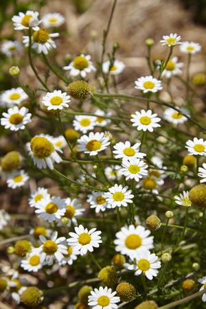cicuta: Antecedentes de pequeñas flores blancas en parque - EE.UU.