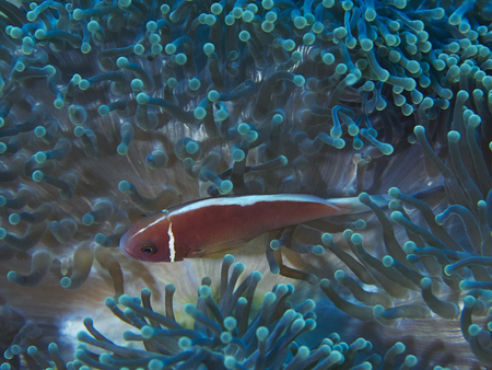 beneath the surface: Coral reef and fish is a sea exotic and beautiful