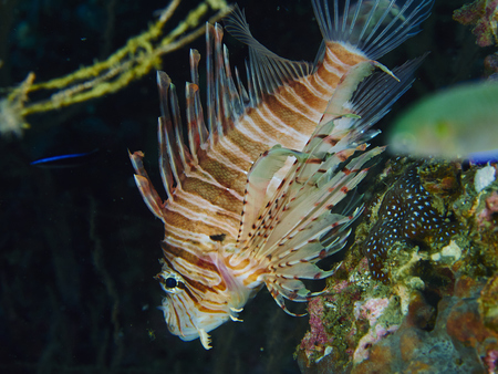 firefish: Lionfish or devil firefish (Pterois miles) is a sea fish exotic and beautiful Stock Photo
