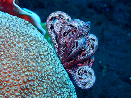 stonefish: feather stars on a tropical coral reef in bali, Indonesia Stock Photo