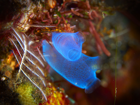 squirt: Tropical coral reef with sea squirt in Bali, Indonesia