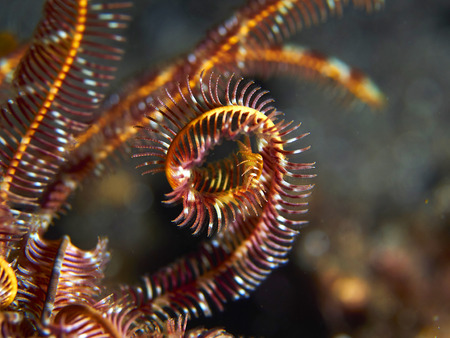 echinoderm: Tropical coral reef with Hooded cuttlefish imitating feather star arms in Bali, Indonesia Stock Photo