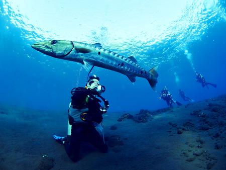 barracuda: Shooting great Barracuda fish and scuba divers