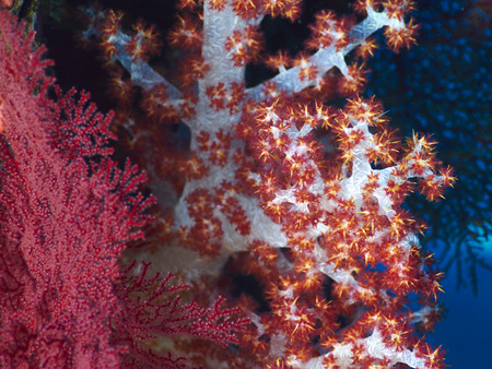 hard coral: soft red teddybear coral on a tropical hard coral reef  in Bali in Indonesia
