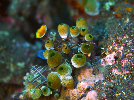 bubble sea anemone: Tropical coral reef with fish in Bali, Indonesia Stock Photo