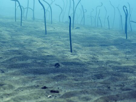 coralgrouper: Field of eels at the bottom in bali, Indonesia