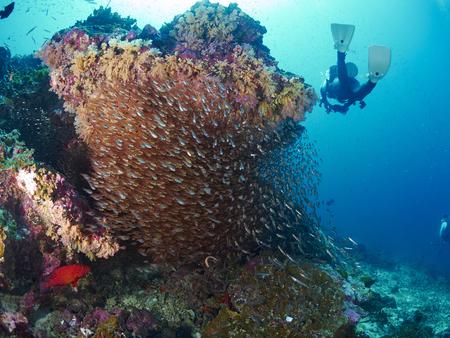 shoal: Shoal of Glassfish in blue water, Similan Thailand.