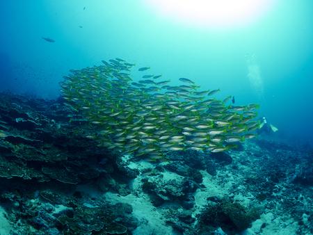 school fish: School Bigeye Snapper fish on coral reef in ocean Stock Photo