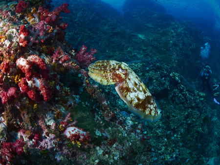 hooded: Hooded Cuttlefish swims next to some marine plants