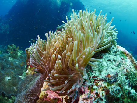 actinia: Anemone,or Actinia home or clownfish, urticante marine animal Stock Photo