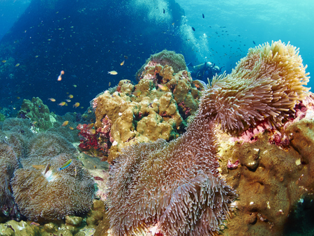 reef fish: reef coral and reef fish in similan island, Thailand