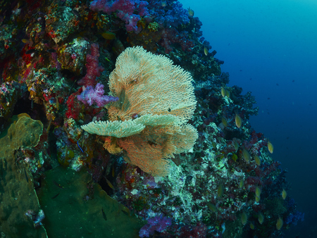 seafan: giant fan coral in Similan, Thailand