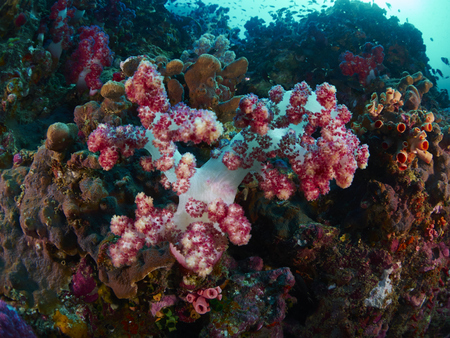 reef fish: giant fan coral and reef fish in Similan, Thailand