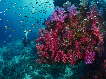 seafan: giant fan coral and reef fish in Similan, Thailand