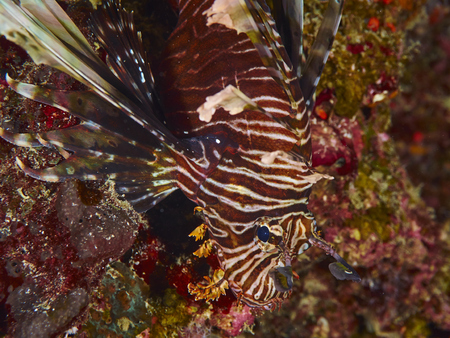 lionfish: Spotfin Lionfish swims next to some marine plants