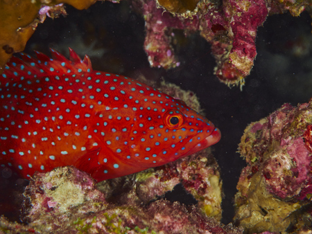 similan: Close-up coral grouper with solf coral in similan, Thailand. Stock Photo