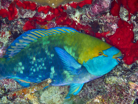 parrotfish: Purplestreak Parrotfish on coral reef background, Similan Island, Thailand