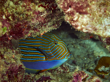 surgeonfish: Striped surgeonfish (Line Surgeonfish) in Andaman sea, Thailand Stock Photo