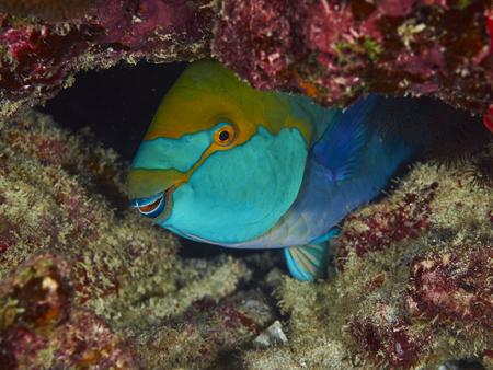 similan: Purplestreak Parrotfish on coral reef background, Similan Island, Thailand