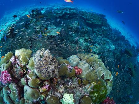 similan: reef coral in the similan, Thailand