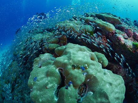 surgeonfish: reef coral in the similan, Thailand