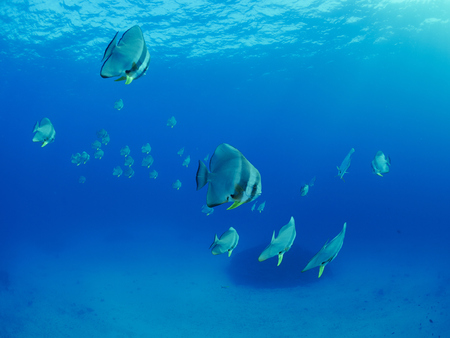 butterflyfish: Group of butterflyfish in the deep sea Stock Photo