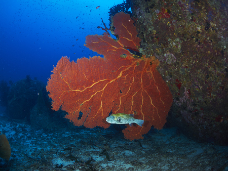 seafan: Blue-Spotted Puffer with giant fan coral in Similan, Thailand