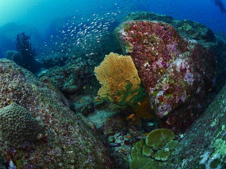 similan: giant fan coral in Similan, Thailand