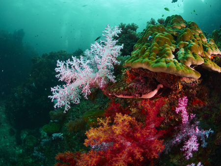 reef fish: coral reef and reef fish in similan island, Thailand