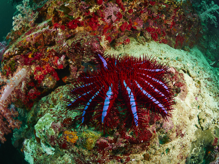 A Crown-of-thorns seastar (Acanthaster planci) clings to a rocky reef
