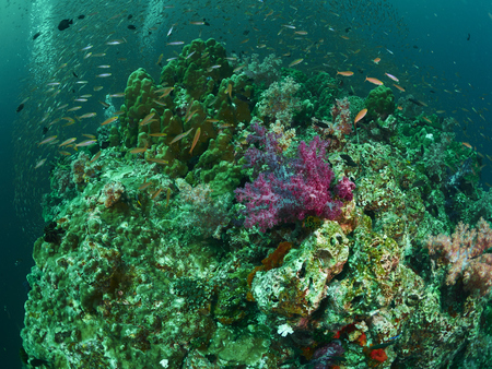 reef fish: reef coral and reef fish in the similan, Thailand
