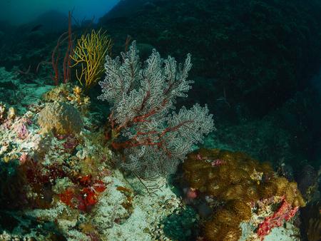 reef fish: coral reef and reef fish at similan island, Thailand