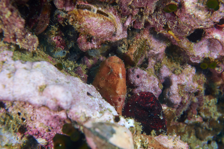 red frog: Red Frog fish