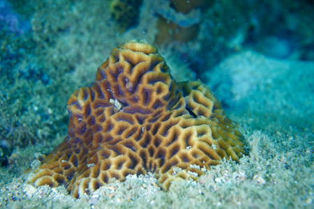 Large brain coral,hard coral at  Island in Thailand