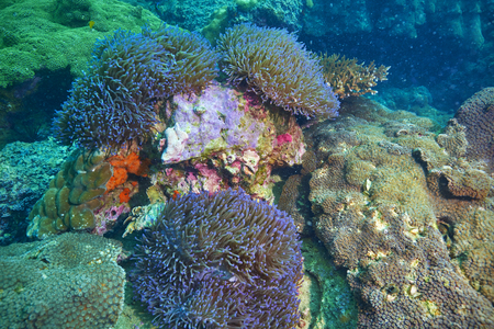 hard coral: reef coral and reef fish at Chomphon Thailand